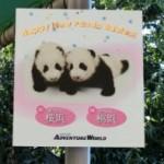 アドベンチャーワールドの双子のパンダの赤ちゃんたち、桜浜&桃浜に会う!