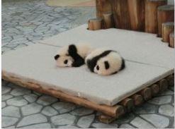 アドベンチャーワールド パンダの赤ちゃん