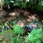 金沢で見た野生のアカハライモリ
