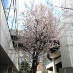 梅田は桜がすでに開花!