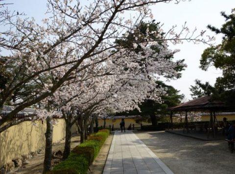 法隆寺の桜