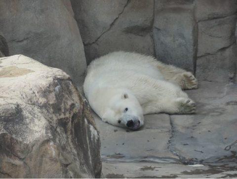 ホッキョクグマ,王子動物園
