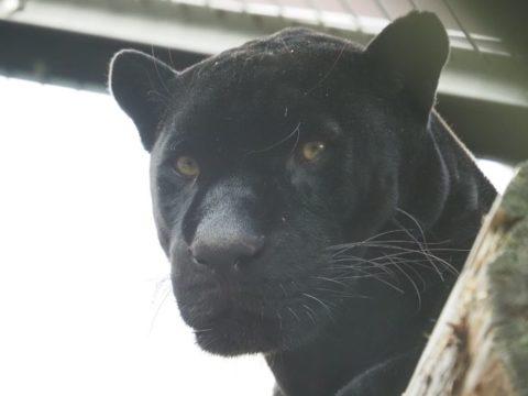黒いジャガー,王子動物園