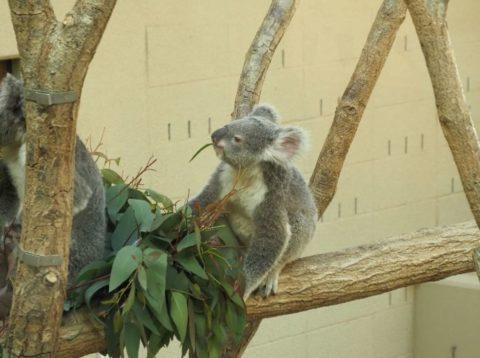 王子動物園のコアラ舎