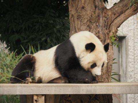 パンダ,タンタン