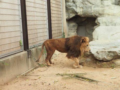 オスライオン,王子動物園