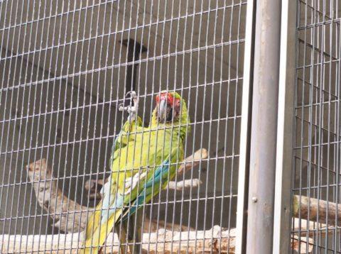 王子動物園のヒワコンゴウインコ