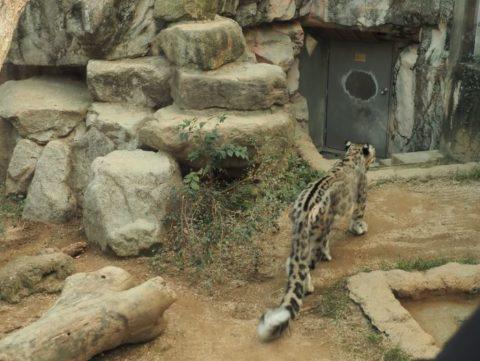 ユキヒョウ?,王子動物園
