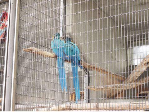 王子動物園のルリコンゴウインコ