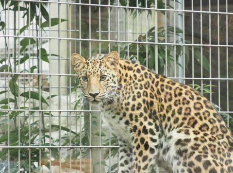 アムールヒョウ,王子動物園