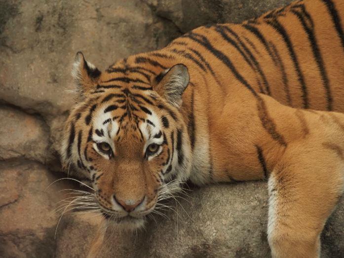 アムールトラ,王子動物園