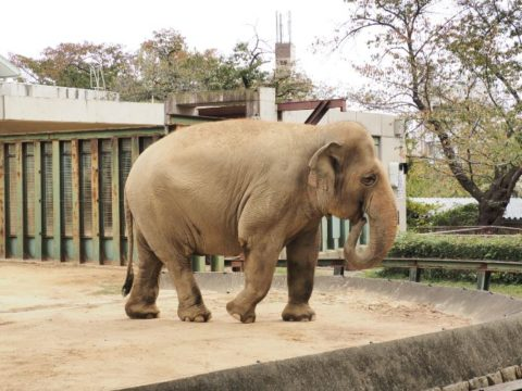 アジアゾウ・メス,王子動物園