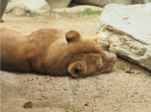 メスライオン,王子動物園