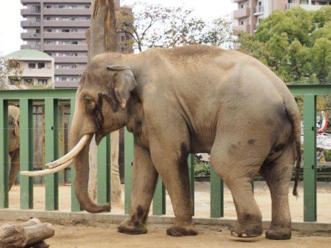 アジアゾウ・オス,王子動物園
