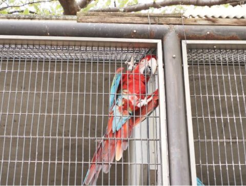 王子動物園のアカコンゴウインコ