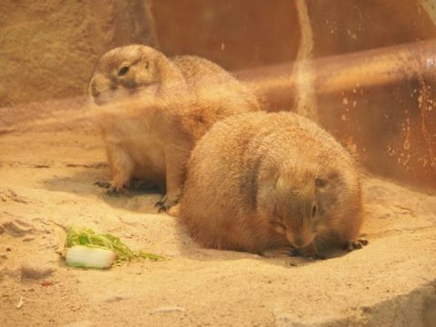 プレリードッグ,王子動物園