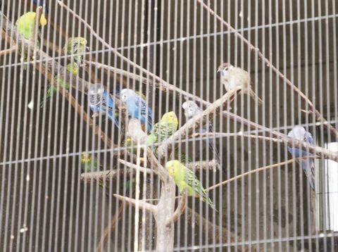 王子動物園のセキセインコ