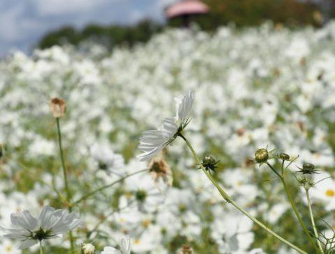 万博記念公園のコスモス(白)