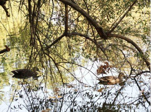 万博記念公園のカルガモ