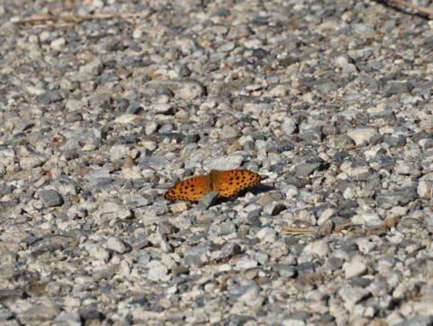 淀川河川敷の蝶