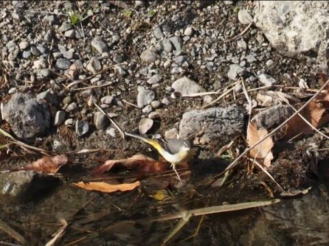 芥川の野鳥、キセキレイ