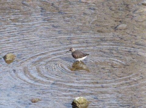 芥川の野鳥、イソシギ