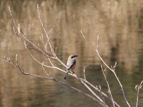 芥川の野鳥_モズ