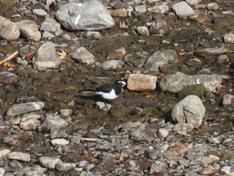 芥川の野鳥_セグロセキレイ