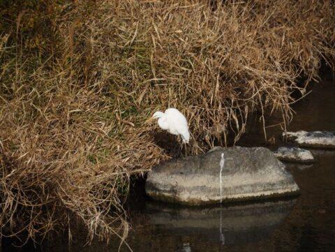 芥川の野鳥、鷺