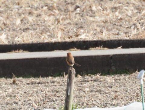 芥川の野鳥、モズ