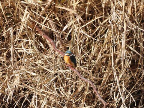 芥川の野鳥、カワセミ