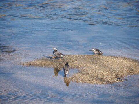淀川河川敷のムクドリ