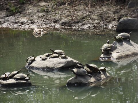 淀川河川敷のカメ