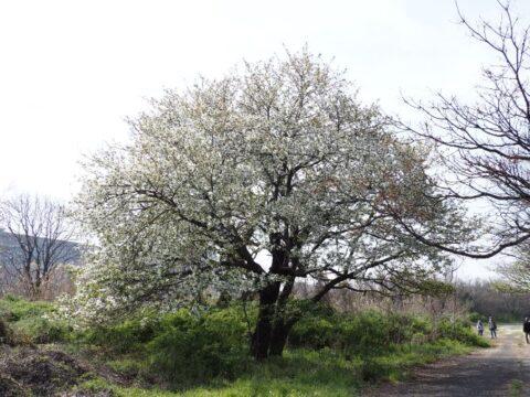 淀川河川敷の桜