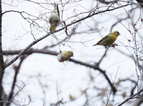 大阪城公園のマヒワの集団