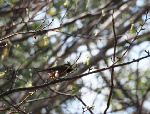 大阪城公園のヤマガラ