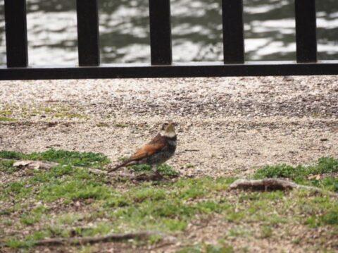 大阪城公園のツグミ