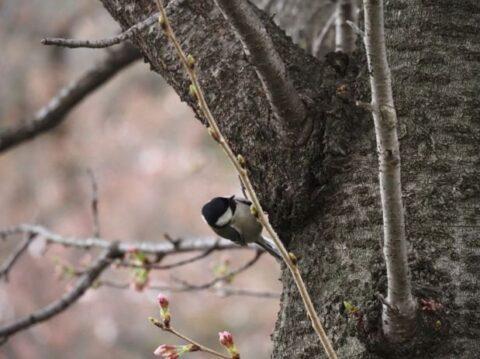 大阪城公園のシジュウカラ