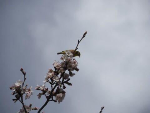 大阪城公園のメジロと桜