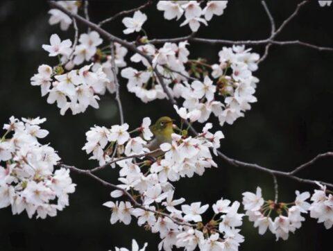 大迫あ場公園のメジロと桜