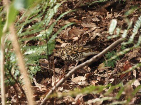 山田池公園のトラツグミ