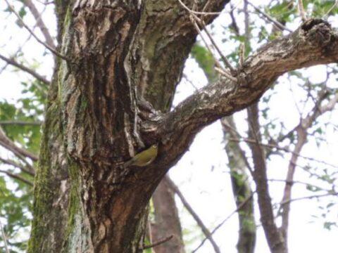 山田池公園のメジロ