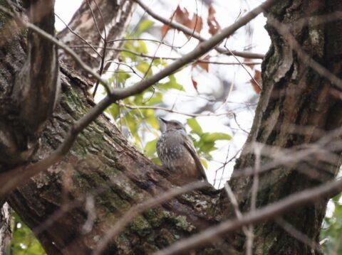 山田池公園のヒヨドリ