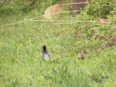 淀川河川敷のキジの雄と雌