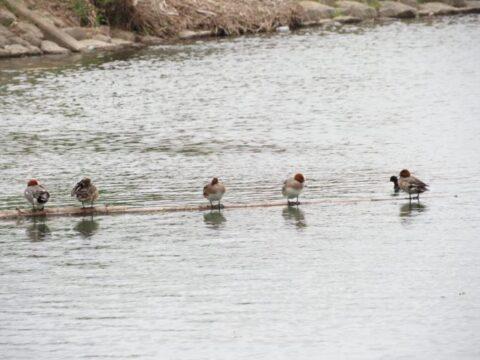 淀川河川敷の水鳥