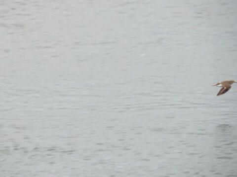 淀川河川敷のイソシギ